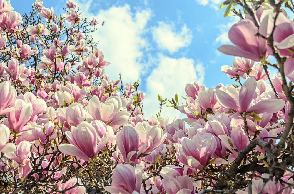 Raiul cu magnolii - Balsam pentru sufletele incercate: 21 de imagini cu magnolii in floare: Gradina infinitului