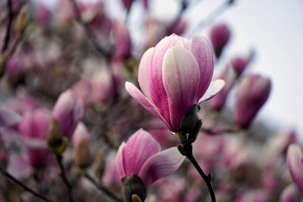 Raiul cu magnolii - Balsam pentru sufletele incercate: 21 de imagini cu magnolii in floare: Picatura cu picatura se face viata