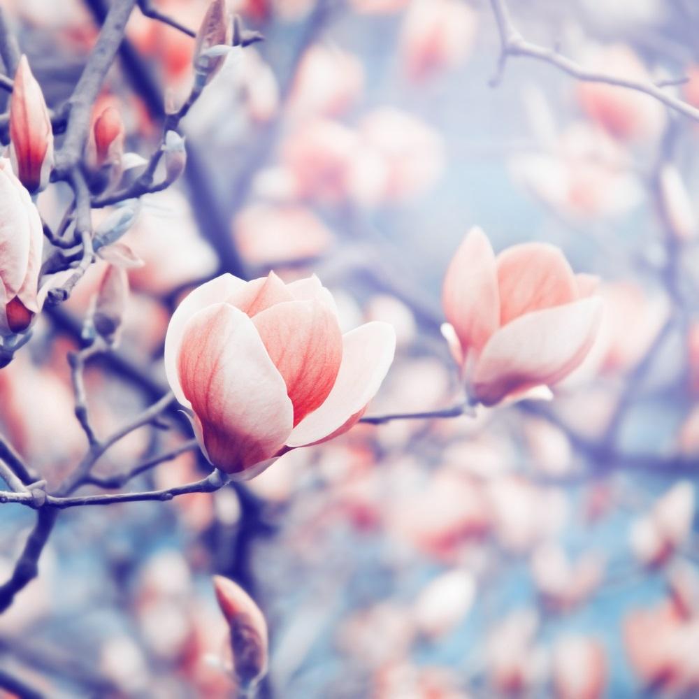 Raiul cu magnolii - Balsam pentru sufletele incercate: 21 de imagini cu magnolii in floare: Cromatica perfecta