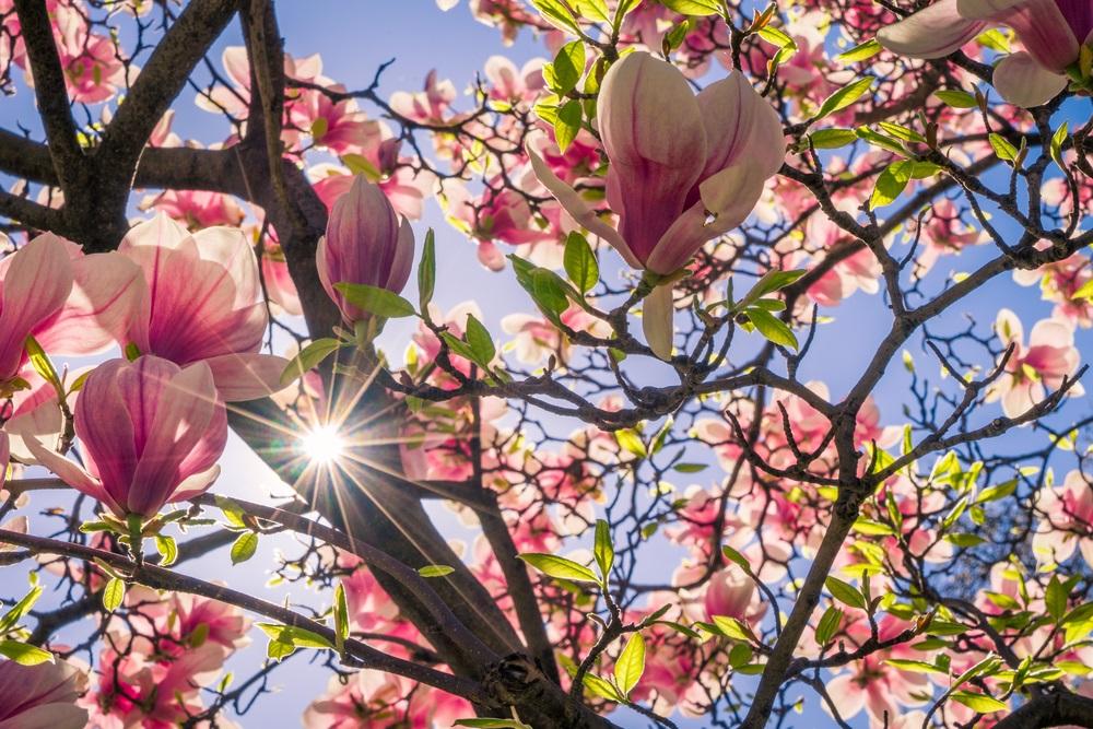 Raiul cu magnolii - Balsam pentru sufletele incercate: 21 de imagini cu magnolii in floare: Raza de soare (si de speranta)