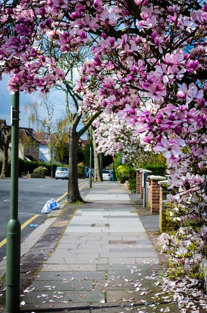 Raiul cu magnolii - Balsam pentru sufletele incercate: 21 de imagini cu magnolii in floare: Un nesfarsit de primavara in oras...