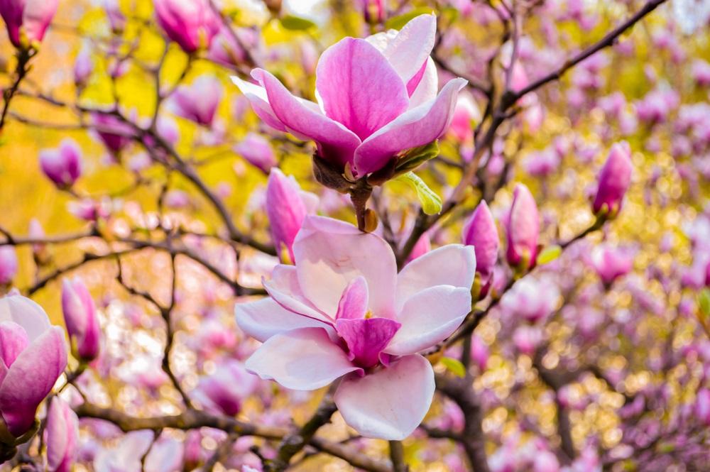 Raiul cu magnolii - Balsam pentru sufletele incercate: 21 de imagini cu magnolii in floare: In flori, petale si viata