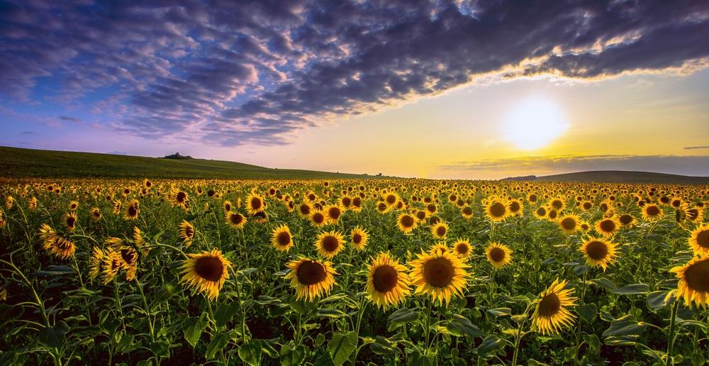 Vara -cel de-al treilea Rai al anului: 19 Imagini mirifice cu vara fermecata: Peisaj rural de vara din Proventa (Franta), cu floarea-soarelui in lumina rasaritului