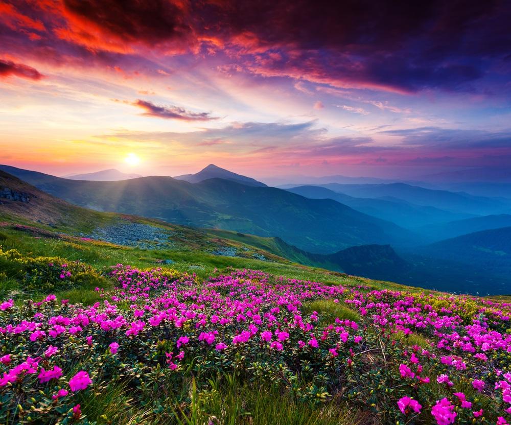 Vara -cel de-al treilea Rai al anului: 19 Imagini mirifice cu vara fermecata: Magie purpurie:  Flori salbatice de Rhododendron pe crestele muntilor Carpati