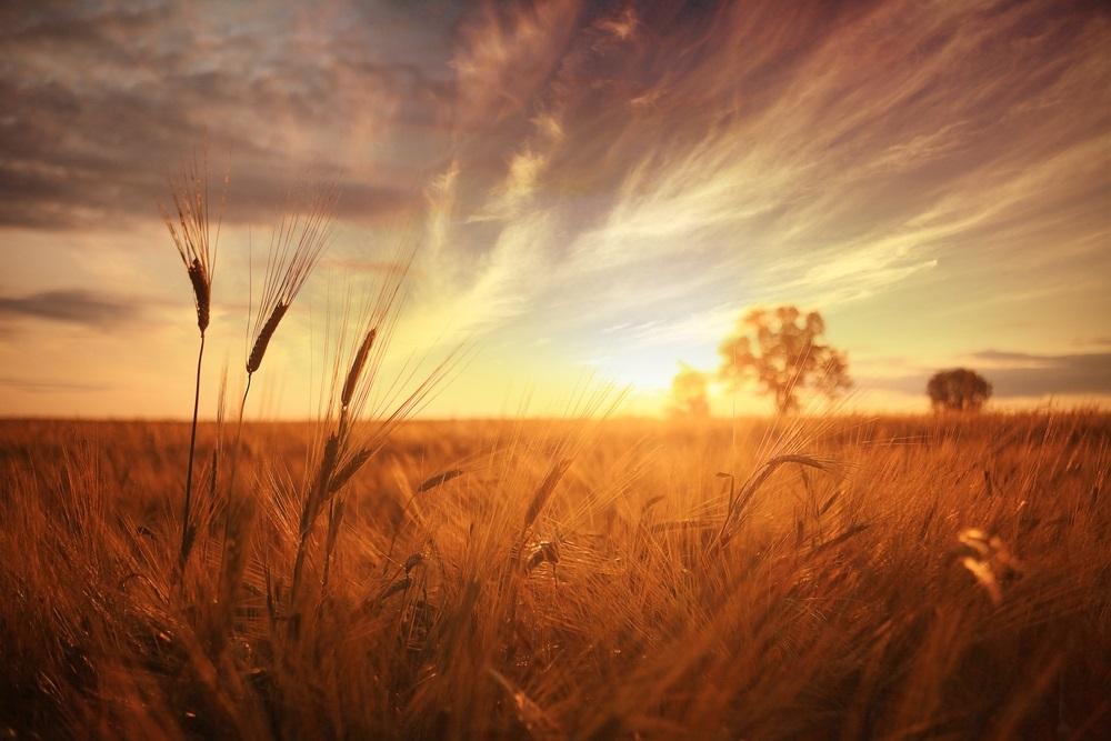 Vara -cel de-al treilea Rai al anului: 19 Imagini mirifice cu vara fermecata: Asa se coace aurul. Fire de grau mangaiate de caldura soarelui
