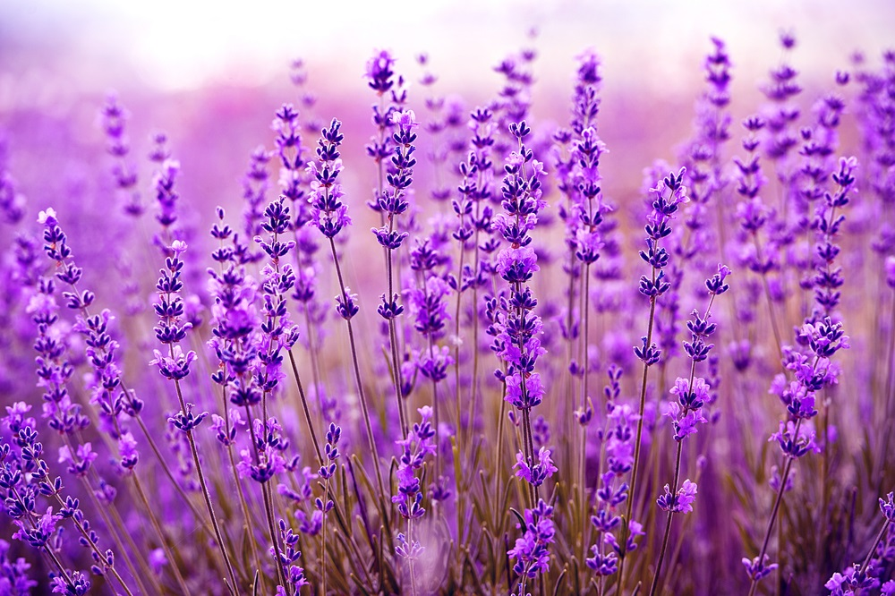 Vara -cel de-al treilea Rai al anului: 19 Imagini mirifice cu vara fermecata: Movul parfumat si inconfundabil al unui camp de lavanda