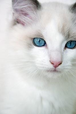 5 rase de pisici superbe: Pisica Ragdoll