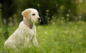 Animalutul potrivit pentru copilul tau: Labrador