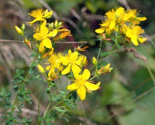 Top 5 analgezice naturale: Sunatoarea (Hypericum perforatum)