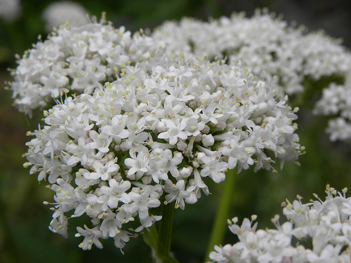 Top 5 analgezice naturale: Valeriana (Valeriana officinalis)