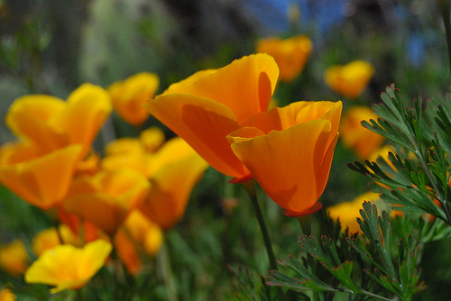 Top 5 analgezice naturale: Macul californian (Eschscholzia californica)